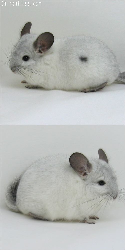 6237 White Mosaic ( Sapphire Carrier ) Male w/ Body Spot Chinchilla