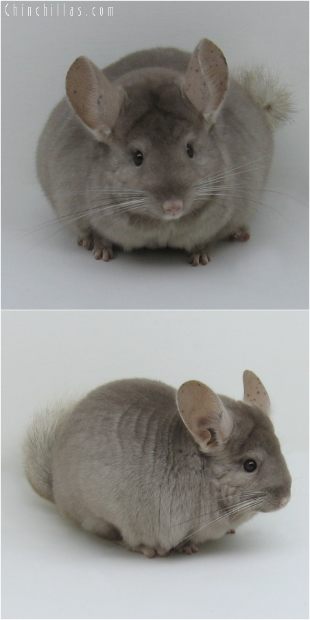 6186 Show Quality Tan Female Chinchilla