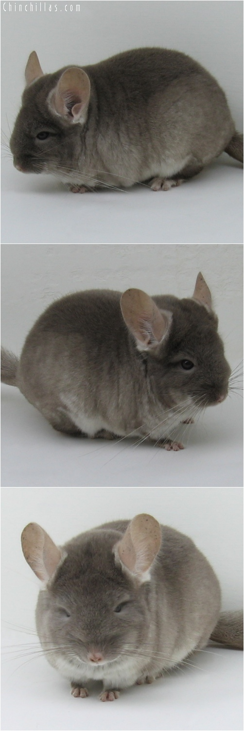 6220 Show Quality TOV Beige ( Violet Carrier / Ebony Carrier ) Female Chinchilla