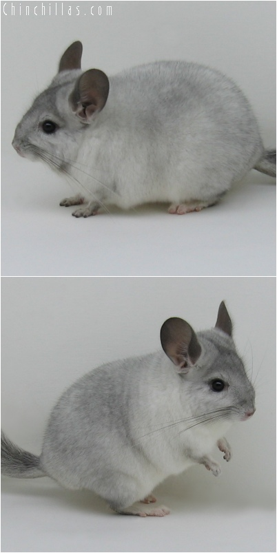 6149 Show Quality White Mosaic ( Sapphire Carrier ) Male Chinchilla