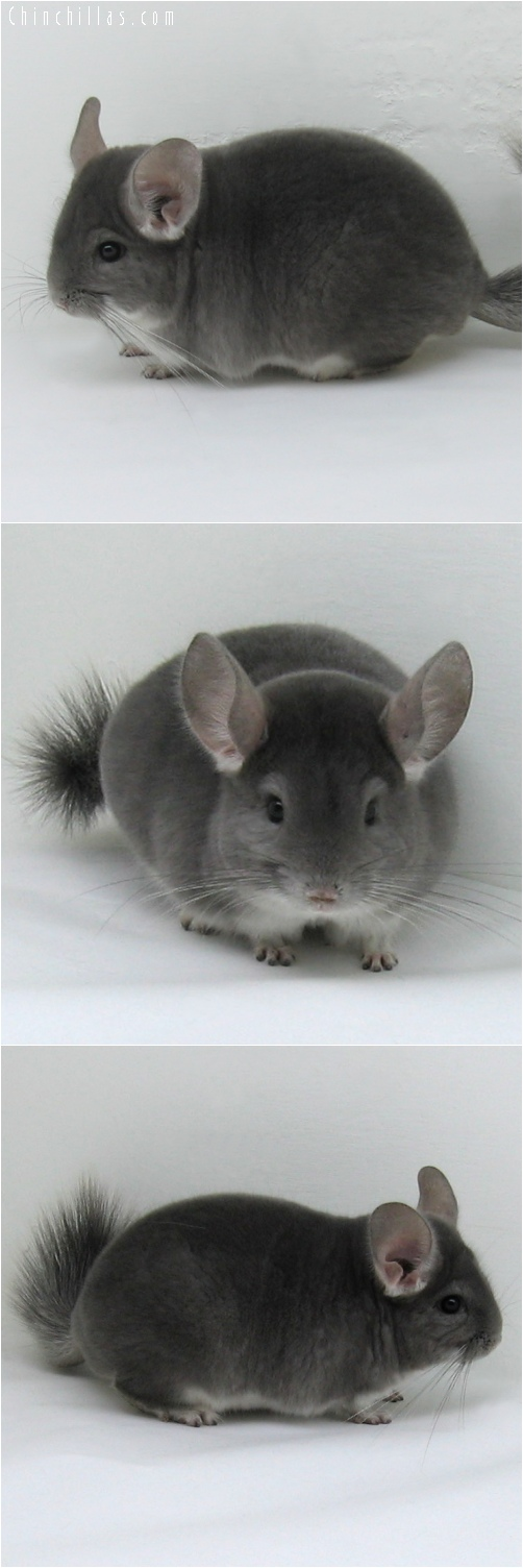 6238 Show Quality Violet Male Chinchilla