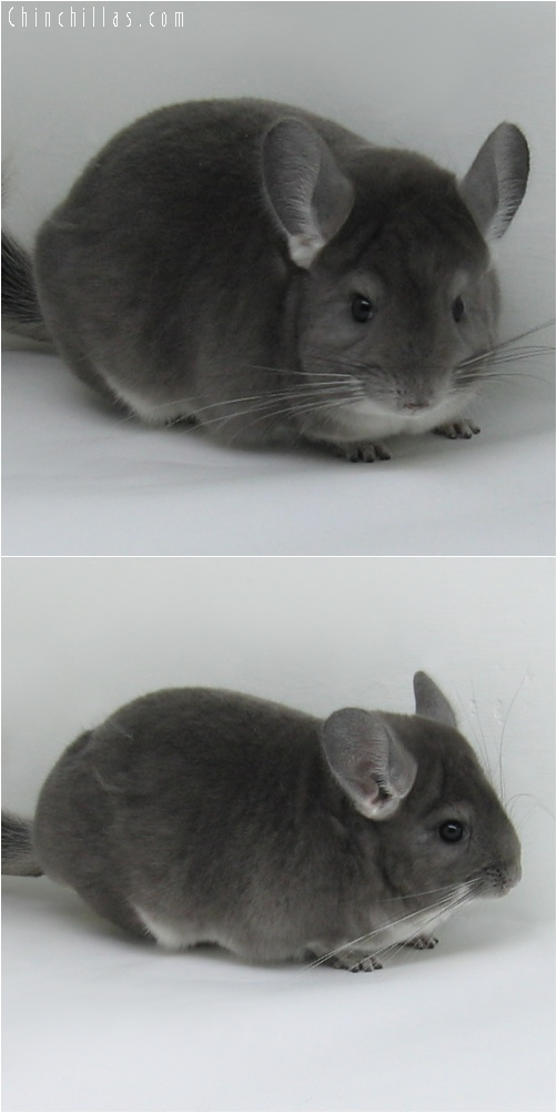 6230 Premium Production Quality Violet Female Chinchilla