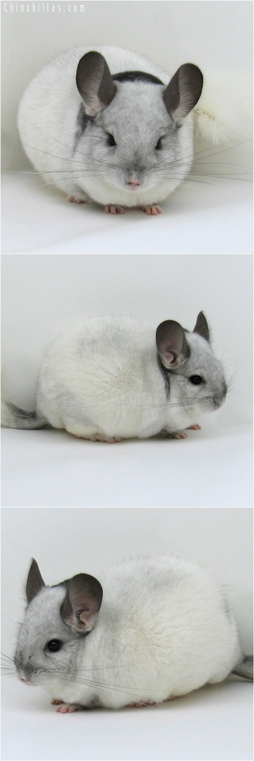 6210 Show Quality Extreme White Mosaic Male Chinchilla
