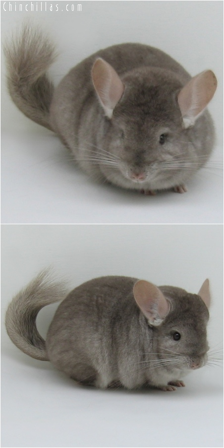 6247 Show Quality Tan Female Chinchilla
