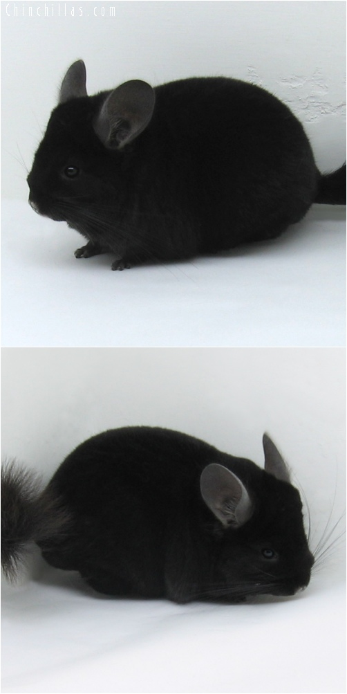 6215 Premium Production Quality Extra Dark Ebony Female Chinchilla