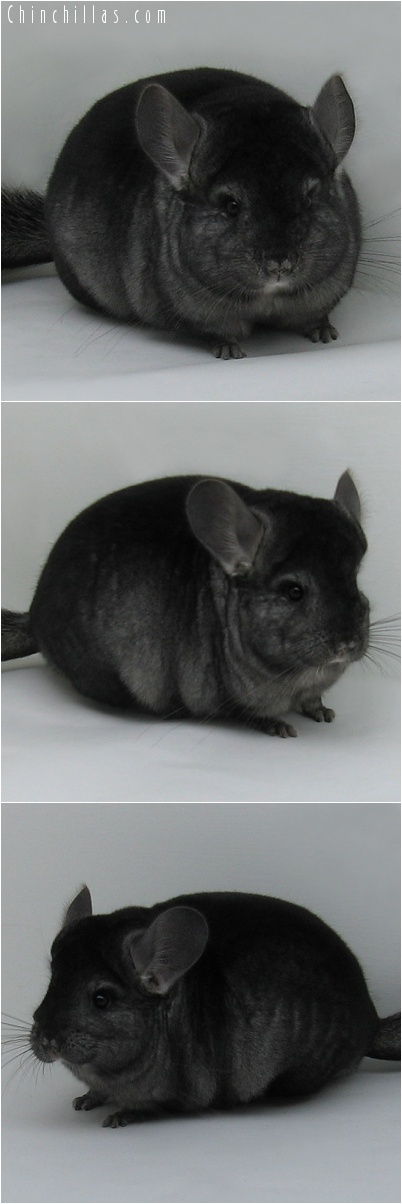 7005 Premium Production Quality Ebony Female Chinchilla