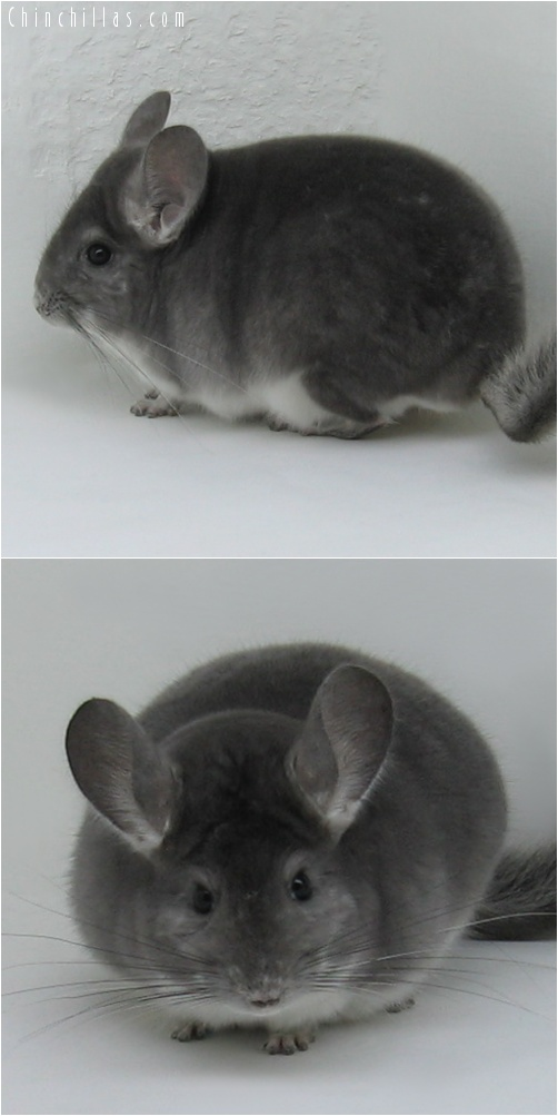 6263 Top Show Quality Violet Male Chinchilla