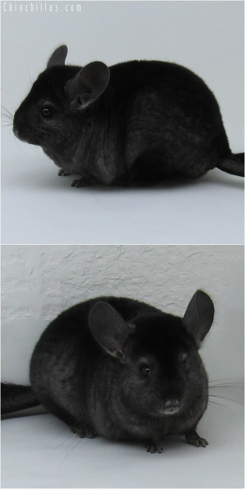 6254 Show Quality Ebony Female Chinchilla