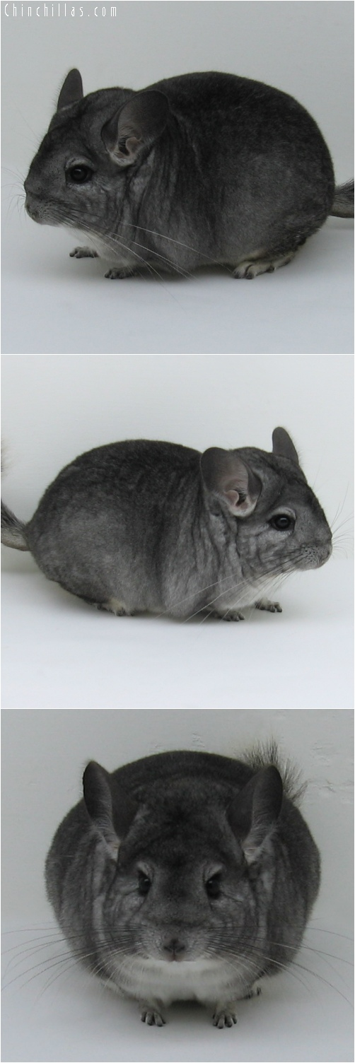 6245 Top Show Quality Standard ( Sapphire Carrier ) Female Chinchilla