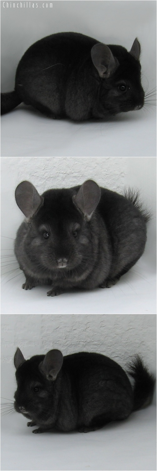 7020 Show Quality Ebony / Mahogany Female Chinchilla