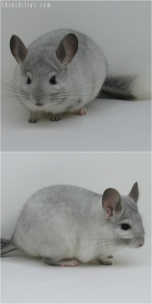 7030 Show Quality White Mosaic ( Sapphire Carrier ) Male Chinchilla