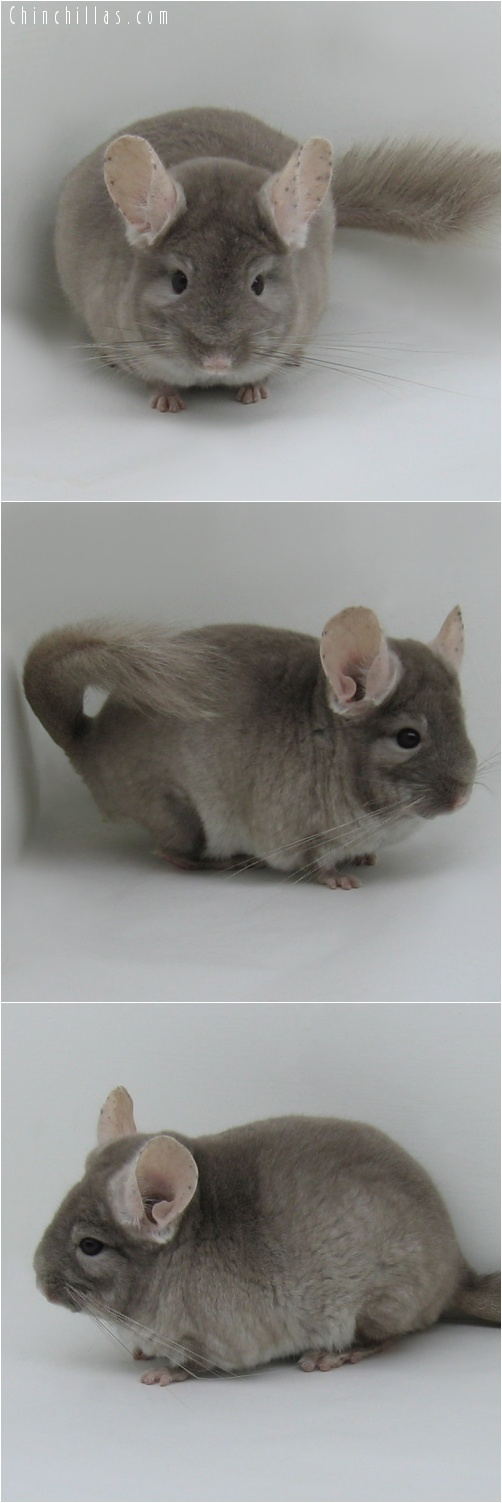 7027 Show Quality TOV Beige ( Violet Carrier ) Male Chinchilla
