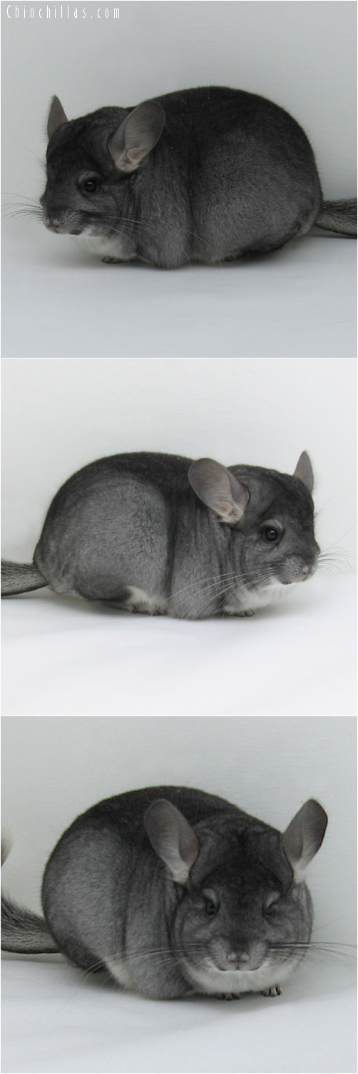7007 Premium Production Quality Standard Female Chinchilla