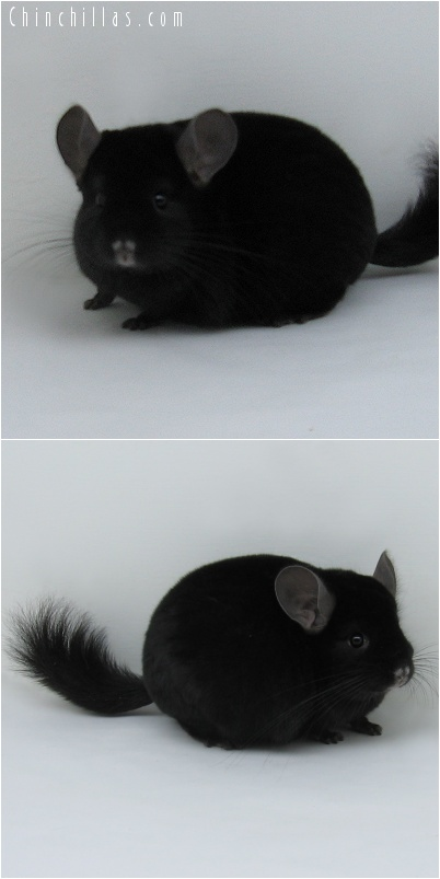 7014 Top Show Quality Extra Dark Ebony Male Chinchilla