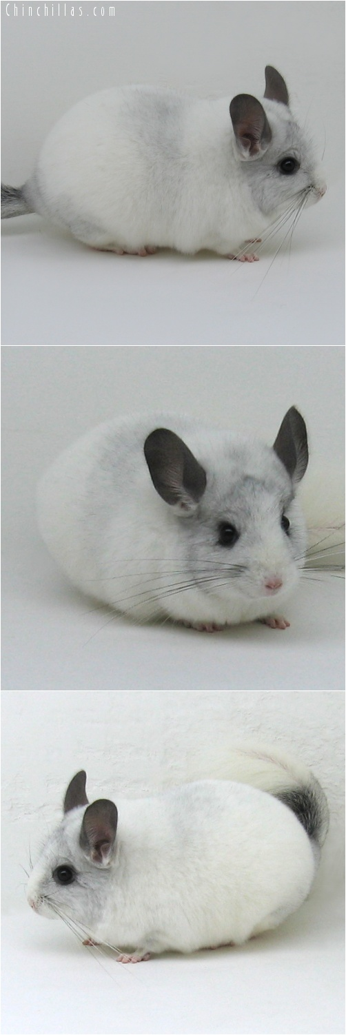 7002 Large Show Quality White Mosaic ( Sapphire Carrier ) Female Chinchilla