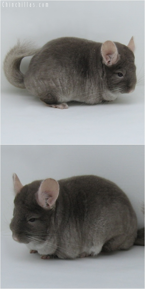 7021 Extra Large Show Quality TOV Beige ( Violet Carrier ) Female Chinchilla