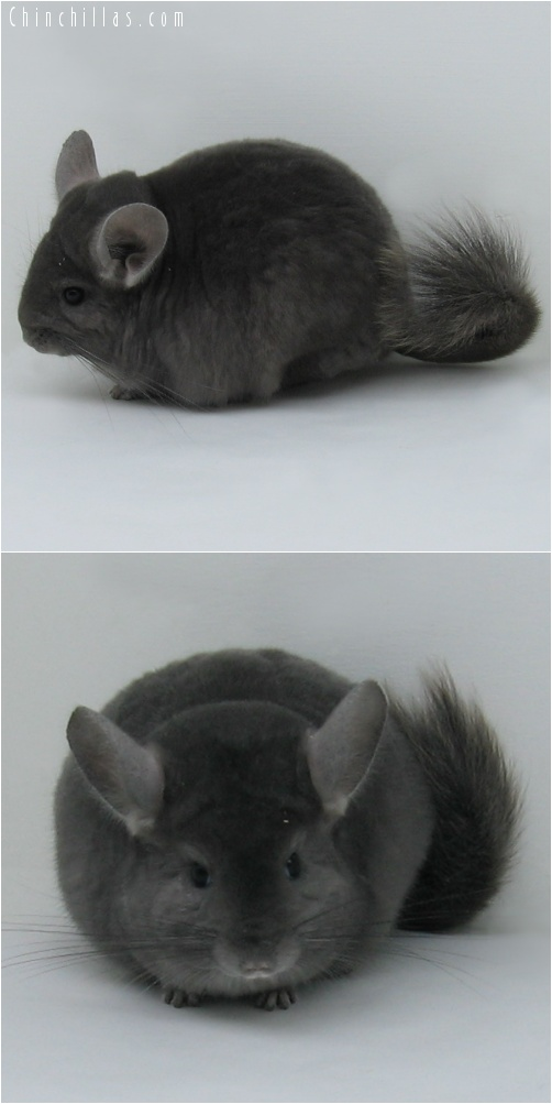 7023 Premium Production Quality Wrap - around Violet Female Chinchilla