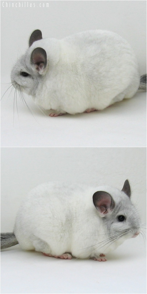 7033 Extra Large Blocky Premium Production Quality White Mosaic ( Sapphire Carrier ) Female Chinchilla