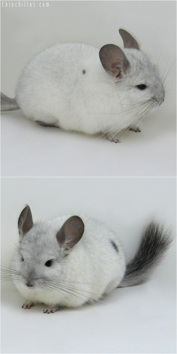7031 Show Quality White Mosaic ( Sapphire Carrier ) Male Chinchilla