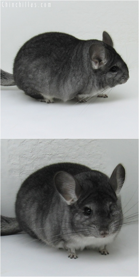 6197 Extra Large Blocky Show Quality Standard Female Chinchilla