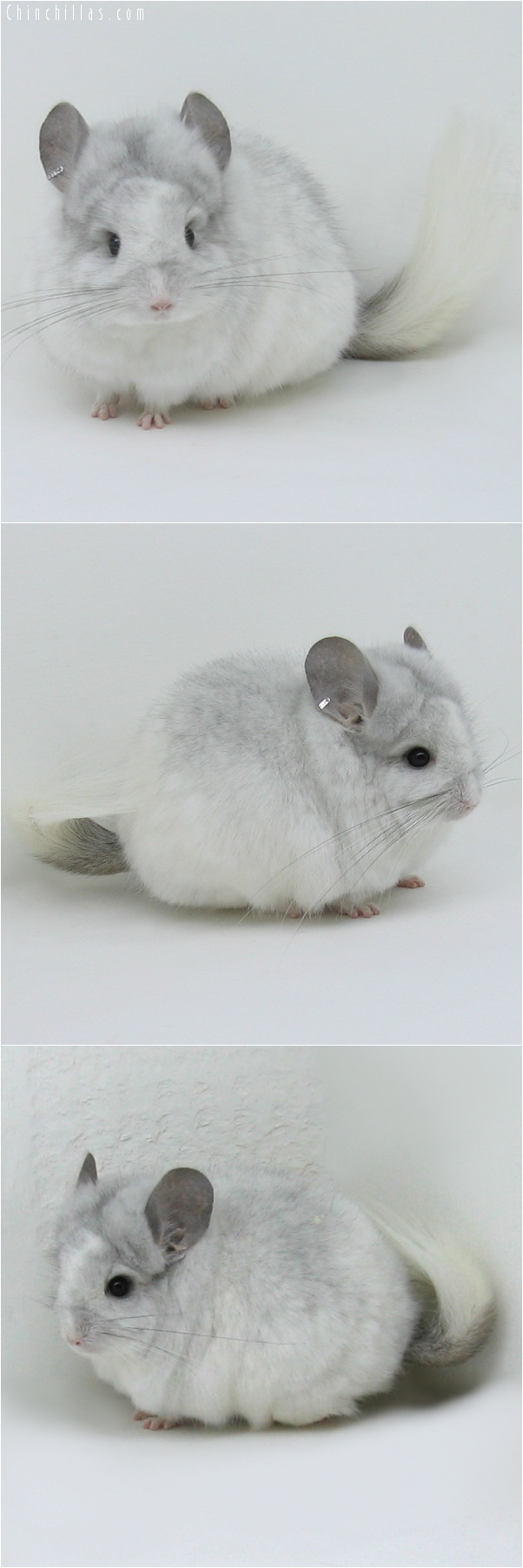 7041 Exceptional White Mosaic Royal Persian Angora Male Chinchilla