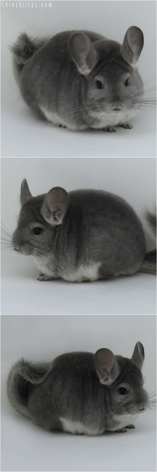 7015 Large Show Quality Violet Female Chinchilla
