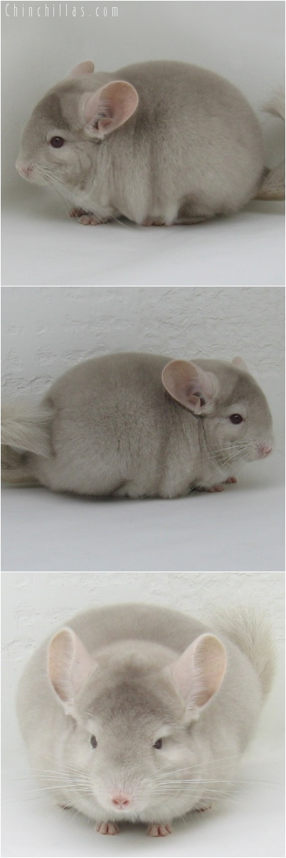 7009 Show Quality Homozygous Beige Female Chinchilla