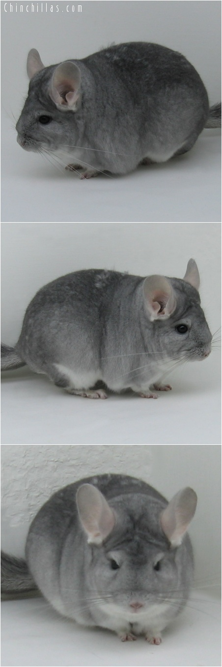 7028 Premium Production Quality Sapphire Female Chinchilla