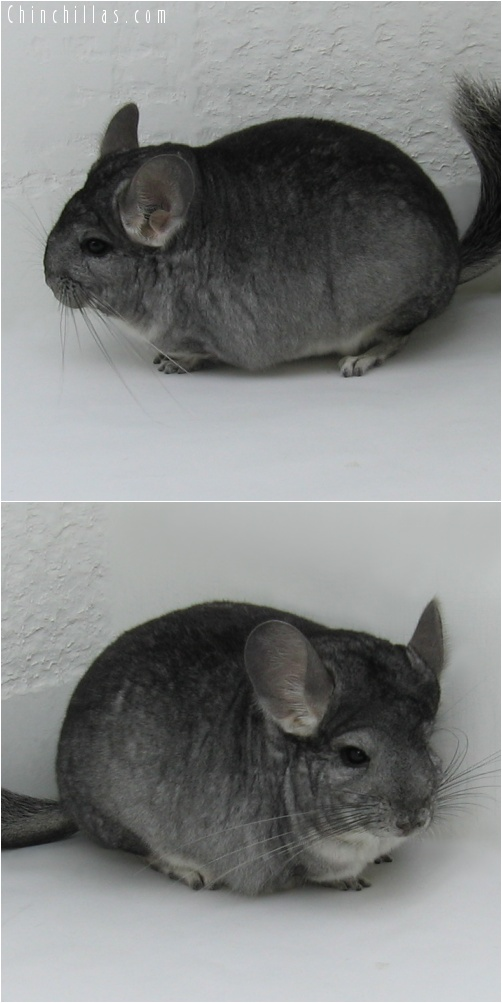 7017 Show Quality Standard ( Sapphire Carrier ) Female Chinchilla