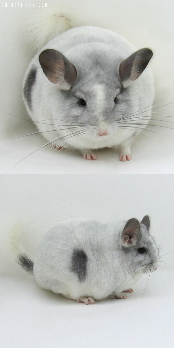 7047 Premium Production Quality Unique White Mosaic Female Chinchilla