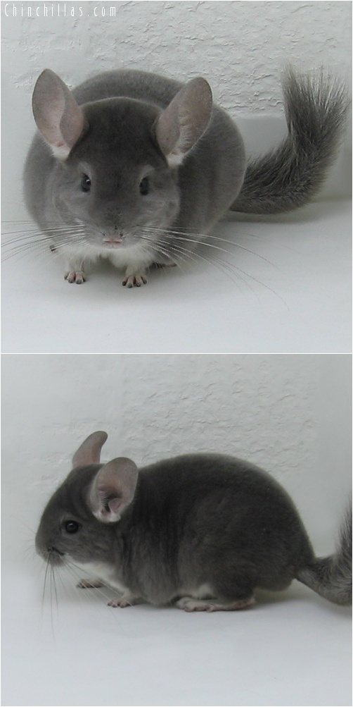 7032 Violet Male Chinchilla