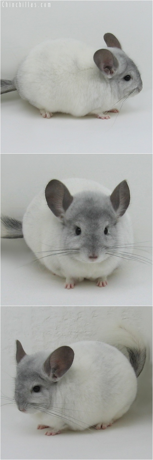 7045 Show Quality White Mosaic Male Chinchilla