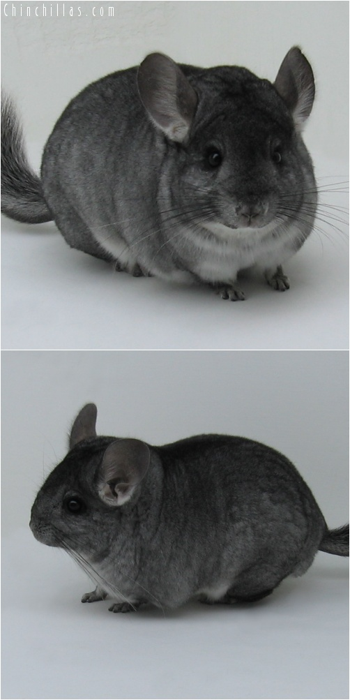 7052 Show Quality Standard ( Sapphire Carrier ) Female Chinchilla