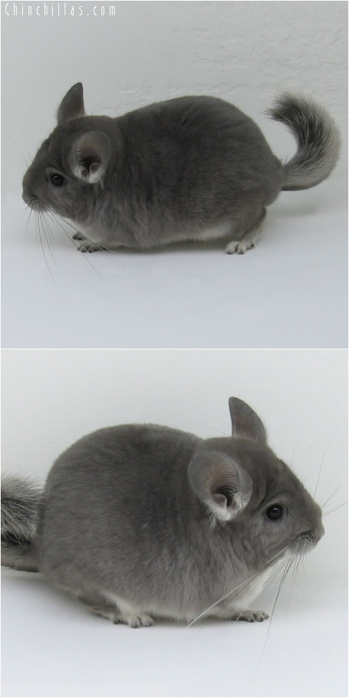 6201 Large Show Quality Violet Female Chinchilla