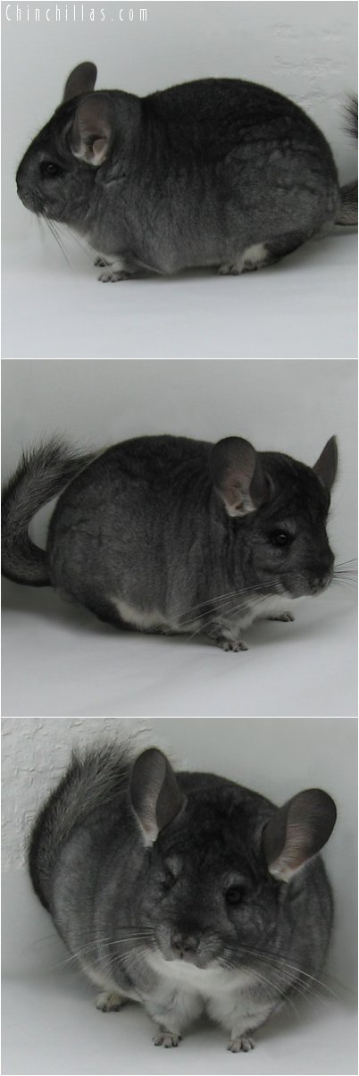 6270 Extra Large Premium Production Quality Standard Female Chinchilla