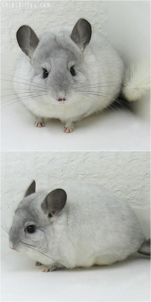 6232 Show Quality White Mosaic ( Sapphire Carrier ) Female Chinchilla