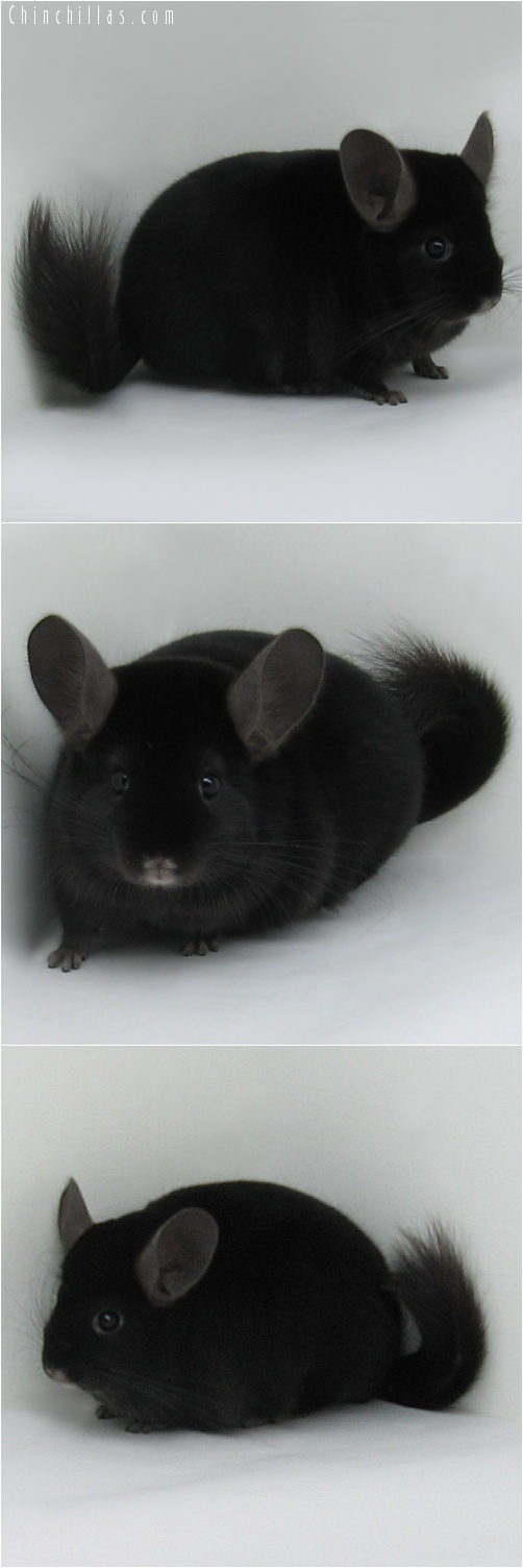 7010 Show Quality Extra Dark Ebony Male Chinchilla