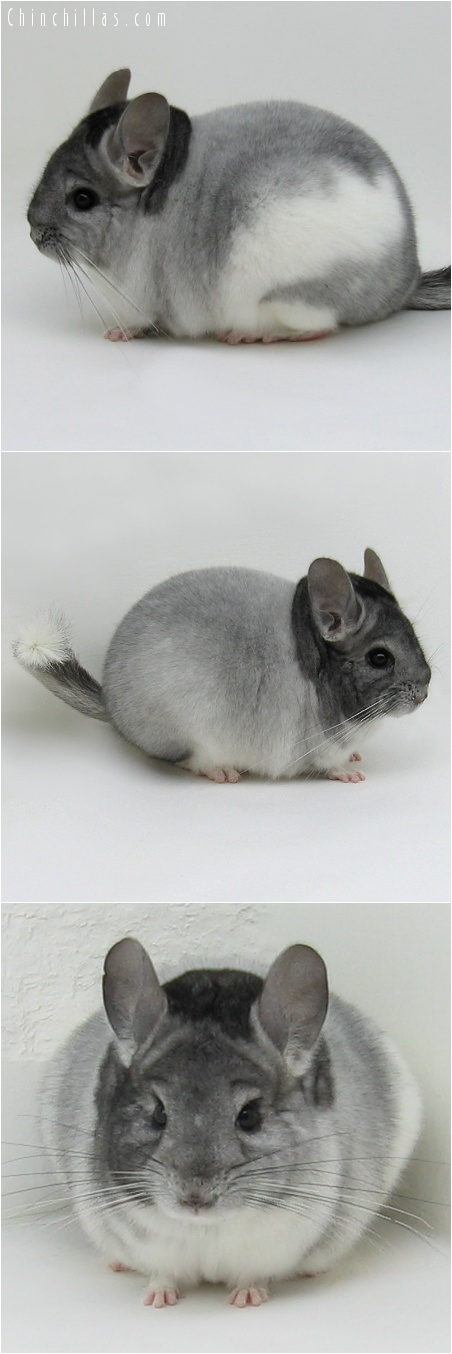 7114 Show Quality Extreme White Mosaic Male Chinchilla