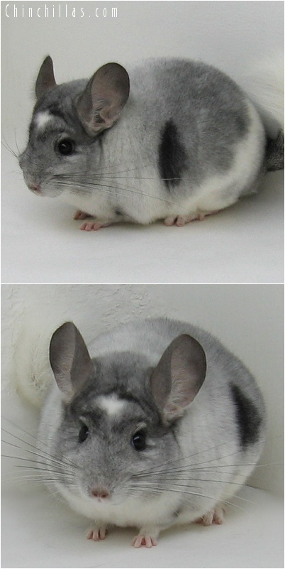 7119 Show Quality Extreme White Mosaic Male Chinchilla