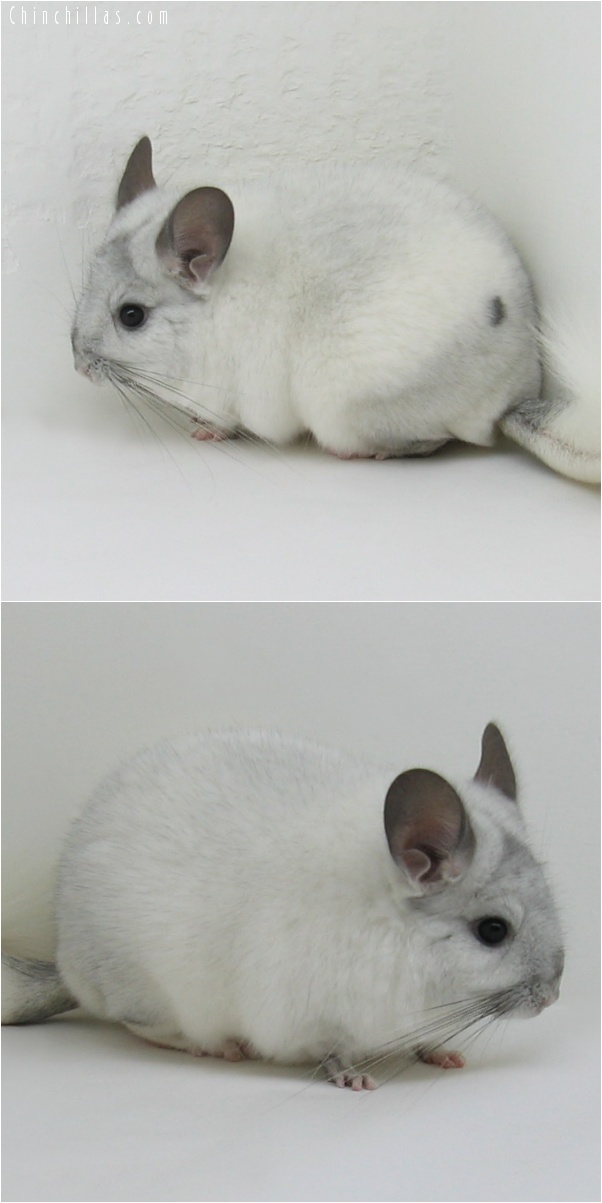 6266 Large White Mosaic ( Sapphire Carrier ) Female Chinchilla