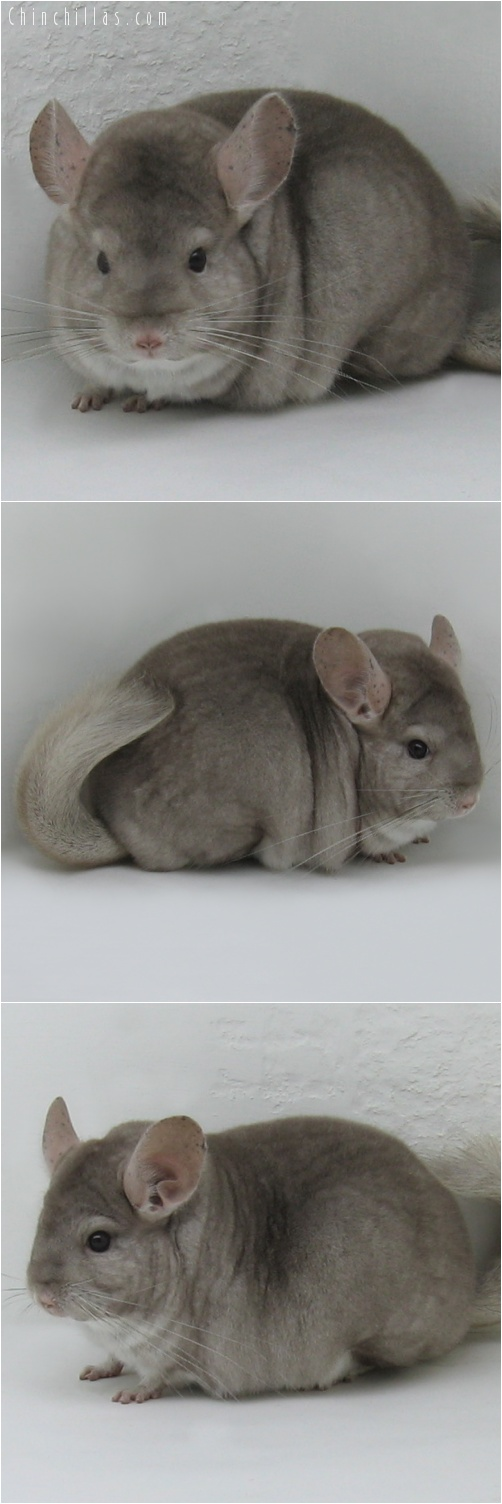 7096 Extra Large Premium Production Quality Beige Female Chinchilla