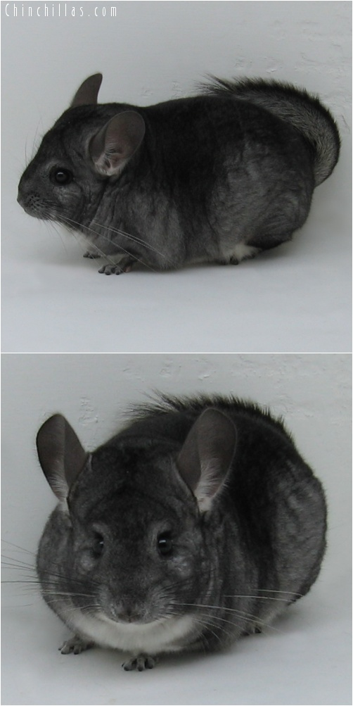 7069 Show Quality Standard ( Violet Carrier ) Female Chinchilla