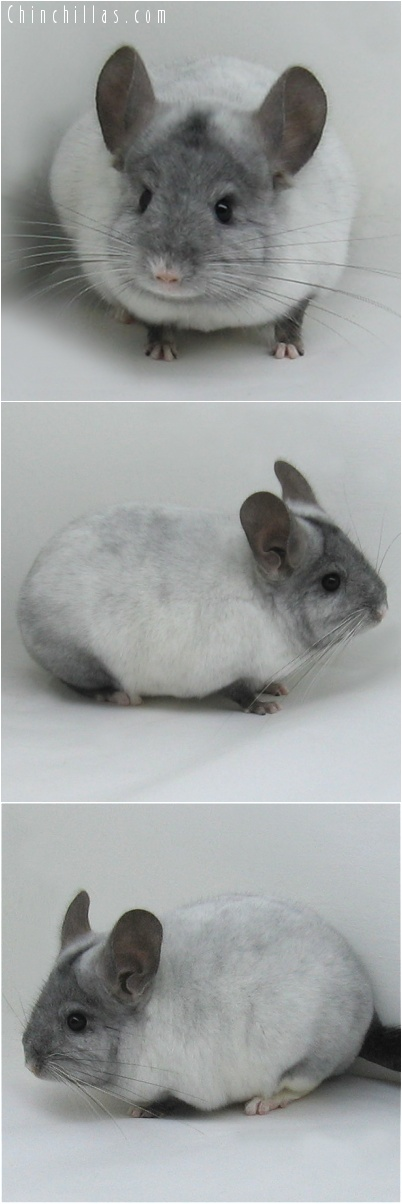 7103 Show Quality Ebony & White Mosaic Male Chinchilla