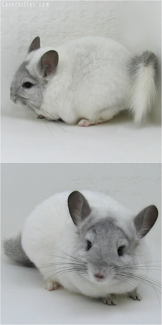 7112 White Mosaic ( Violet Carrier ) Female Chinchilla