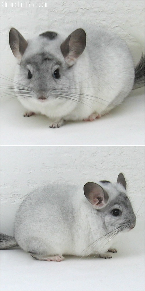 7106 Herd Improvement Quality White Mosaic Male Chinchilla