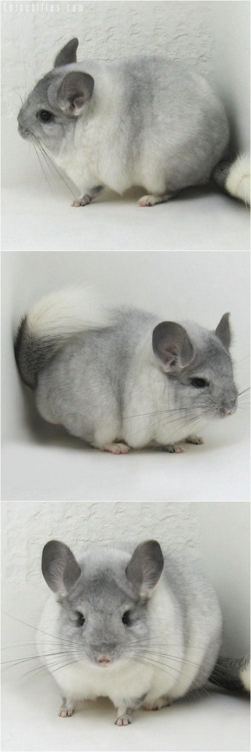 7122 Premium Production Quality White Mosaic Female Chinchilla