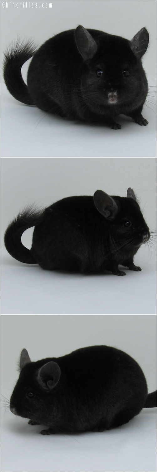 7048 Show Quality Ebony Female Chinchilla