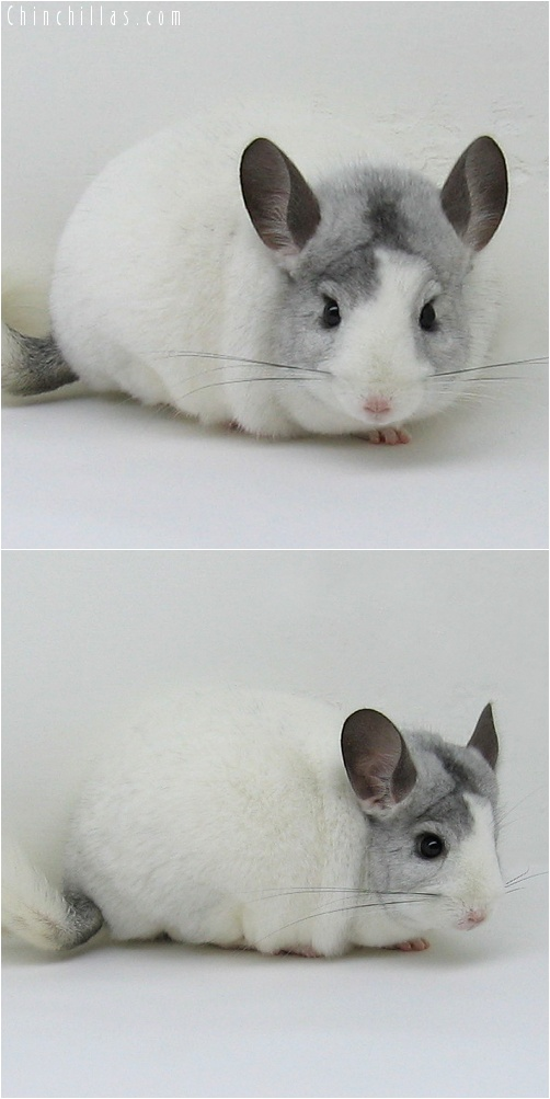 7130 Large Show Quality White Mosaic Male Chinchilla