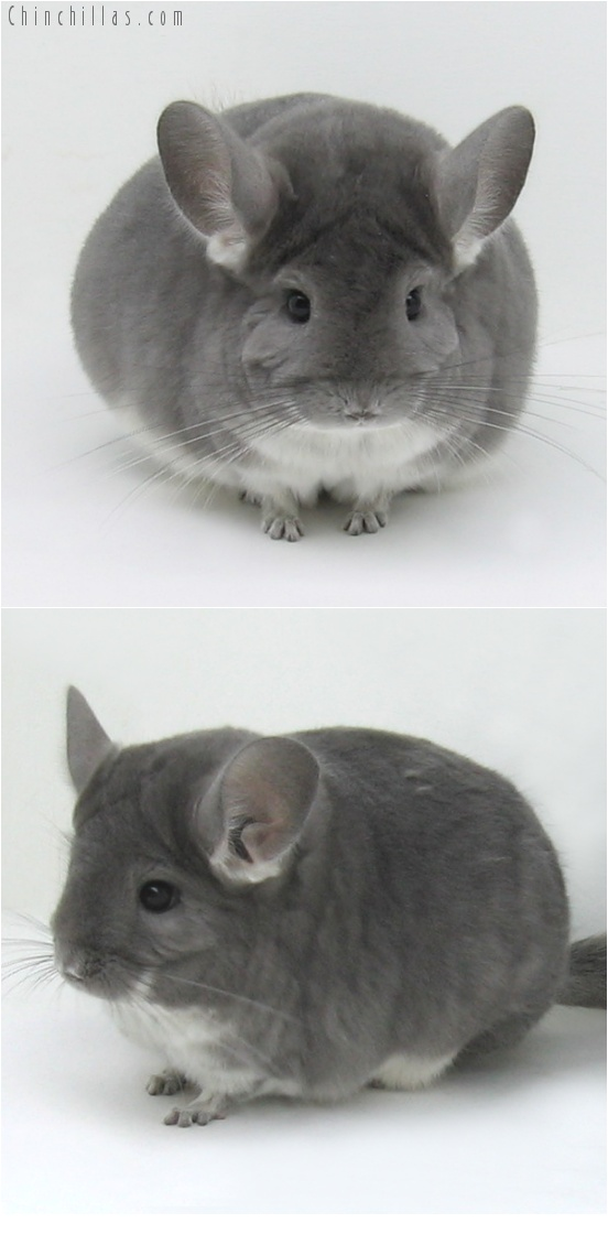 7099 Violet ( Possible Ebony Carrier ) Female Chinchilla