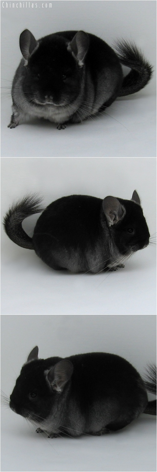 7136 Show Quality Black Velvet ( Ebony Carrier ) Male Chinchilla